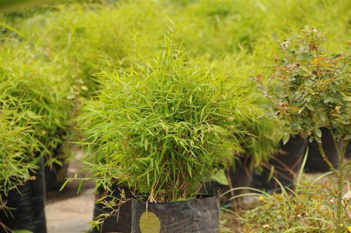 Bambu planta exterior plantas de bamb para el exterior plantas de interior sin cold hardy - Bambu planta exterior ...